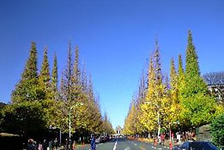 青山の銀杏並木